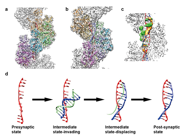生命中心王宏伟研究组在Nature Structural & Molecular Biology杂志发表论文揭示DNA同源重组分子机制   2016年12月12日,生命中心王宏伟研究组与合作者在《Nature Structural & Molecular Biology》杂志在线发表题为《催化DNA链交换的人源重组酶RAD51纤维的冷冻电镜结构》(Cryo-EM structures of human recombinase RAD51 filaments in the catalysis
